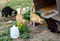 feral_cats_eating_med